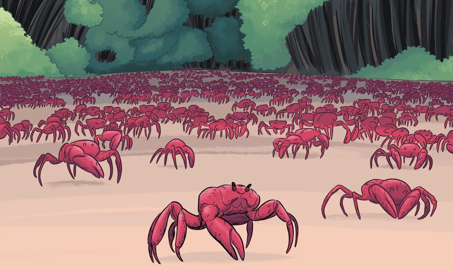 Christmas Island Crabs.Red Crabs Of Christmas Island A Wild Migration Topic