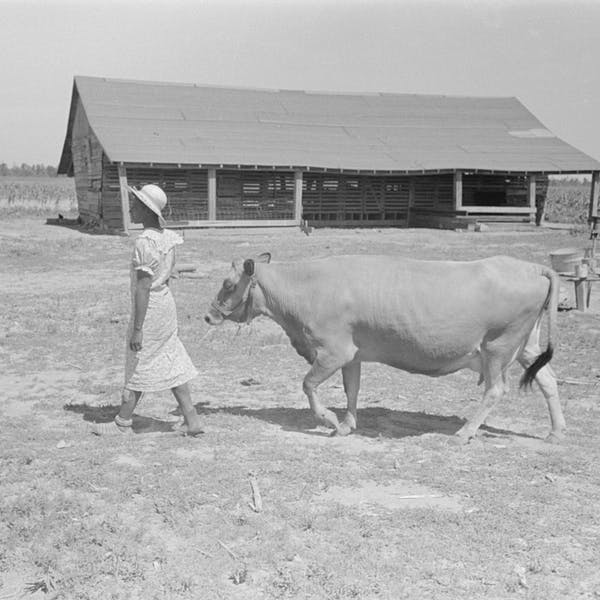 A sharecropper's wife leading a cow to pasture, New Madrid County, Missouri, 1938.